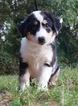 Miniature Australian Shepherd Puppy For Sale in WARSAW, IN, USA