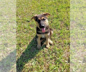 German Shepherd Dog Puppy for sale in INEZ, TX, USA