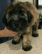 Soft Coated Wheaten Terrier Puppy For Sale in KISSIMMEE, FL, USA