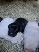 Labrador Retriever Puppy For Sale in HOGANSVILLE, GA, USA
