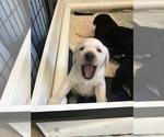 Small #10 Labrador Retriever