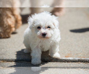 Maltipoo Puppy for Sale in WILLISTON, Vermont USA