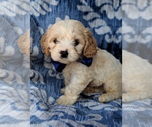 Cavachon Puppy for sale in LANCASTER, PA, USA