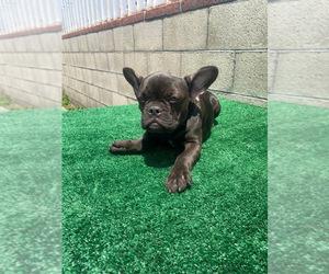 French Bulldog Puppy for Sale in ANAHEIM, California USA