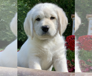 Labradoodle Puppy for sale in GLENDALE, CA, USA