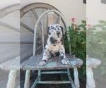 Puppy 9 Great Dane