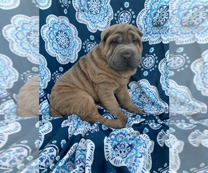 Chinese Shar-Pei Puppy for sale in MERRITT IS, FL, USA