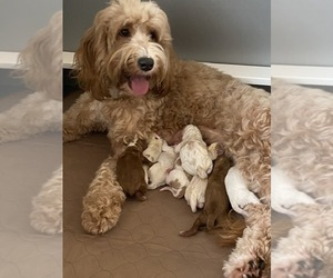 Australian Labradoodle Puppy for Sale in SOMERSWORTH, New Hampshire USA