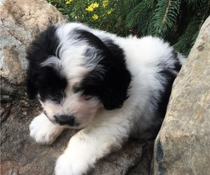 Great Pyrenees-Poodle (Toy) Mix Puppy for Sale in BOWLING GREEN, Ohio USA