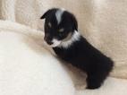 Pembroke Welsh Corgi Puppy For Sale in SAGUACHE, CO, USA