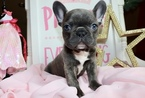 French Bulldog Puppy For Sale in CHILLICOTHE, OH, USA