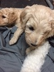 Labradoodle Puppy For Sale in UMATILLA, FL, USA