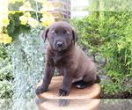 Small Photo #3 Akita-Labrador Retriever Mix Puppy For Sale in SHILOH, OH, USA