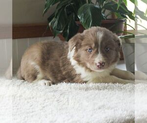 Border Collie Puppy for sale in MANHEIM, PA, USA