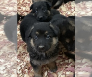 German Shepherd Dog Puppy for sale in ANDERSONVILLE, IN, USA