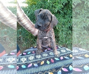 Presa Canario Puppy for sale in ROANOKE, VA, USA