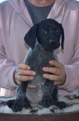 German Shorthaired Pointer Puppy For Sale in GAINESVILLE, GA, USA