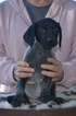 Puppy 4 German Shorthaired Pointer