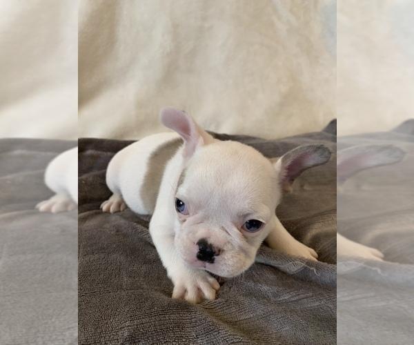 Medium Photo #4 French Bulldog Puppy For Sale in JOHNS ISLAND, SC, USA