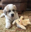 Great Pyrenees Puppy   Male