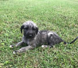 Irish Wolfhound Puppy For Sale in SYLVESTER, GA, USA