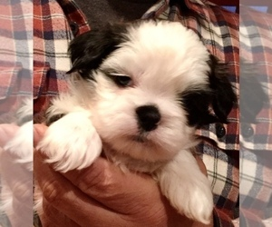 Shih Tzu Puppy for Sale in GREENSBORO, North Carolina USA