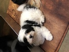 Havanese Puppy For Sale in LAKE ORION, MI,