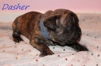 French Bulldog Puppy For Sale in PITTSBURGH, PA, USA