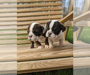 English Bulldog Puppy for Sale in SPENCER, Tennessee USA