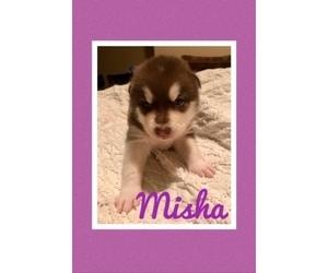 Medium Alaskan Malamute