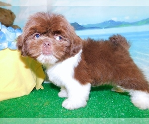 Shih Tzu Puppy for Sale in HAMMOND, Indiana USA