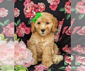 Goldendoodle-Poodle (Miniature) Mix Puppy for sale in KIRKWOOD, PA, USA