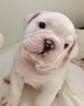 Bulldog Puppy For Sale in SWARTZ CREEK, MI