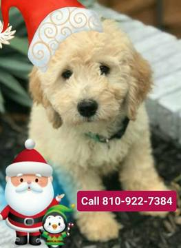 Golden Retriever-Goldendoodle Mix puppy