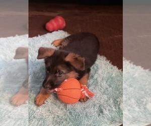 German Shepherd Dog Puppy for Sale in VOLGA, South Dakota USA