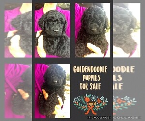 Goldendoodle Puppy for sale in DARLINGTON, WI, USA