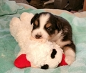 Australian Shepherd Puppy For Sale in RED OAK, TX