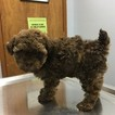 Poodle (Toy) Puppy For Sale in STARK CITY, MO,