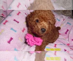 Poodle (Miniature) Dog for Adoption in DULUTH, Georgia USA
