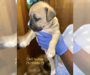 American Bully Mikelands  Puppy for sale in FRANKLIN, VA, USA