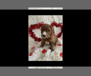 Goldendoodle Puppy for Sale in NORTH MANCHESTER, Indiana USA