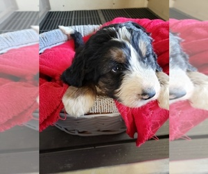 Bernedoodle Puppy for sale in HAZLETON, IA, USA