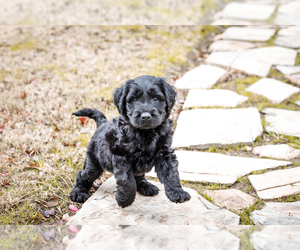 Labradoodle Puppy for Sale in MIDLAND, Texas USA