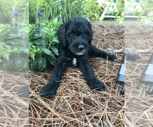 Goldendoodle Puppy for sale in LIVERMORE, CA, USA