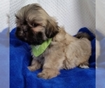 Lhasa Apso Puppy For Sale in BUFFALO, MO, USA
