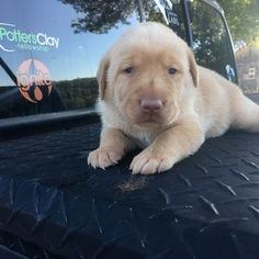 Labrador Retriever Puppy For Sale in EASLEY, SC, USA