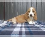 Small #7 Basset Hound