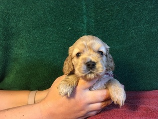 Cocker Spaniel Puppy For Sale in FENTON, MI