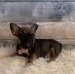 French Bulldog Puppy For Sale in ARROYO GRANDE, CA, USA