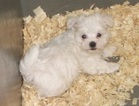 Maltese Puppy For Sale in CARROLLTON, GA, USA